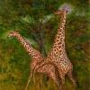 serengeti-darf-nicht-ste