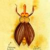 Spanische Fliege männlich